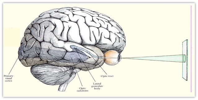 Fig. 1 Signals are transmitted through the eyes to the primary visual cortex at the rear of the brain.